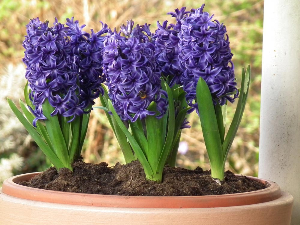 dekoracja wnętrz kwiatami, dekoracja wnętrz hiacyntem, dekoracja z hiacyntu na Wielkanoc